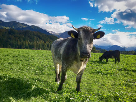 Germany, Bavaria, Upper Allgaeu, cows on pasture - ALEF00093