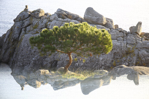 Spain, Cala S'Alguer, Costa Brava, single pine tree in front of a rock - DSGF01822