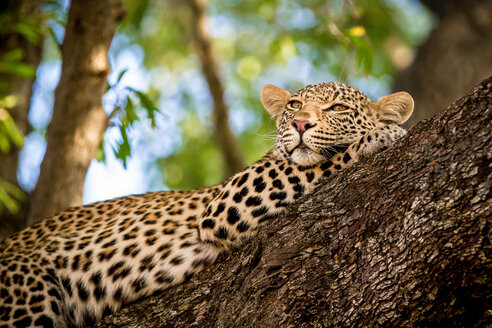 A leopard, Panthera pardus, lies in a tree, resting head on front leg, looking away, greenery in background - MINF10406