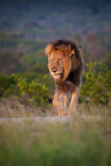 A male lion, Panthera leo, stands on green grass, lifts front leg, looking away - MINF10418