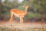 A male impala, Aepyceros melampus, standing on short grass, direct gaze - MINF10427