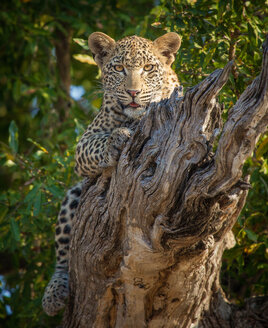 A leopard, Panthera pardus, lies on a dead branch, legs wrapped around log, alert, tongue out - MINF10436