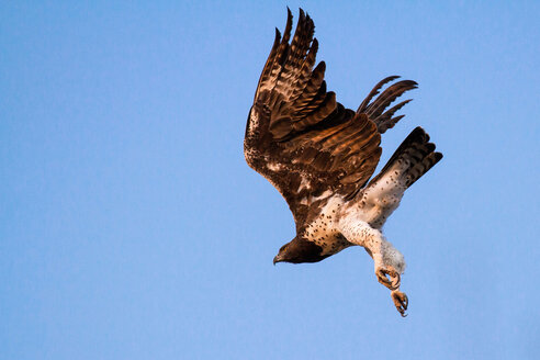 Martial eagle, Polemaetus bellicosus, low angle view in mid light, under delly and legs white, wings spread, blue sky background - MINF10445