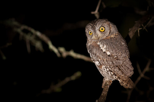 A scops owl, Otus scops, at night, perched on branch, alert, yellow eyes - MINF10451