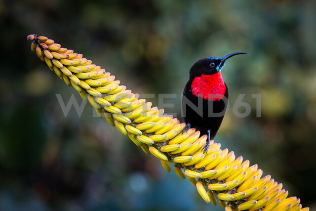 A scarlet-chested sunbird, Chalcomitra senegalensis, perches on a candelabra aloe flower, Aloe arborescens, looking away - MINF10460 - Londolozi Images/Mint Images/Westend61