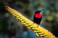 A scarlet-chested sunbird, Chalcomitra senegalensis, perches on a candelabra aloe flower, Aloe arborescens, looking away - MINF10460
