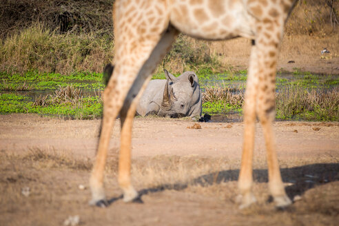 A white rhino, Ceratotherium simum, lies in a water pan in the background and is framed by the legs of a giraffe in the foreground, Giraffa camelopardalis - MINF10463