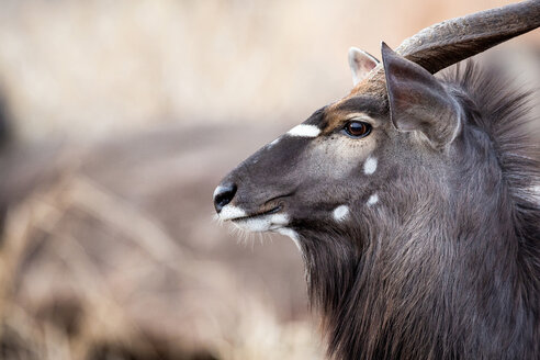 The side profile of the head of a male nyala, Tragelaphus angasii, ears up and perked, looking away - MINF10466
