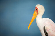 A side profile of a yellow-billed stork, Mycteria ibis, against yellow sky - MINF10478