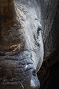 A rhino's head, Ceratotherium simum, direct gaze - MINF10484