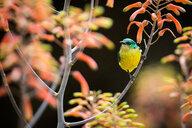 Female collared sunbird, Hedydipna collaris, perches in a candelabra aloe, Aloe arborescens - MINF10487