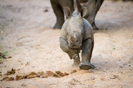 A rhino calf, Ceratotherium simum, runs towards the camera in sand, legs raised, sand in air - MINF10502