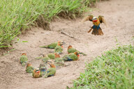 A flock of white-fronted bee-eaters, Merops bullockoides, lie on sand while one flies down, wings up and tail spread - MINF10508