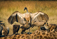 A white-backed vulture, Gyps africanus, opens up its wings and lands on another vulture, which stands on a giraffe carcass, Giraffa camelopardalis - MINF10517