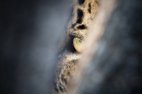 A leopard's eye, Panthera pardus, green-yellow in colour, looking through a narrow gap, hiding. - MINF10520