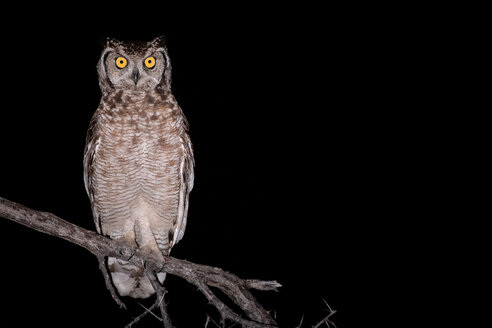 Spotted eagle owl, Bubo africanus, alert, perched on a branch at night. - MINF10529