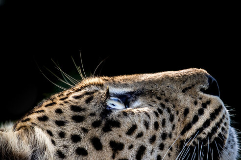 A side-profile of a leopard's head, Panthera pardus, looking up into the light, glow on eyes, coat and whiskers, black background. - MINF10559
