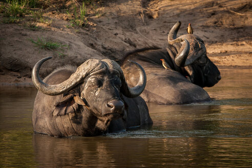 Two buffalo, Syncerus caffer, wallow and lie in the water, eyes closed, red-billed oxpeckers sit on them, Buphagus erythrorhynchus - MINF10577