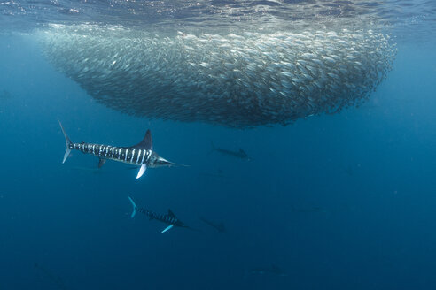 Striped marlin hunting mackerel and sardines - CUF49173