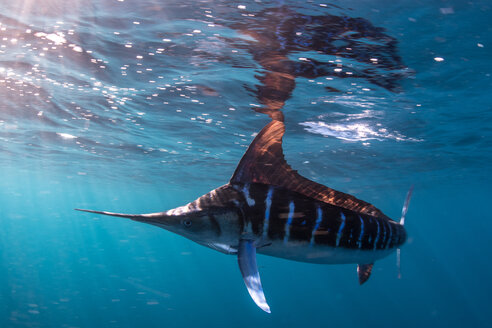 Striped marlin hunting mackerel and sardines - CUF49176