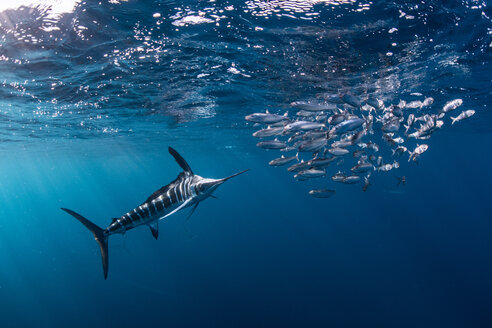 Striped marlin hunting mackerel and sardines - CUF49179