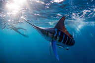 Striped marlin hunting mackerel and sardines, photographed by diver - CUF49182