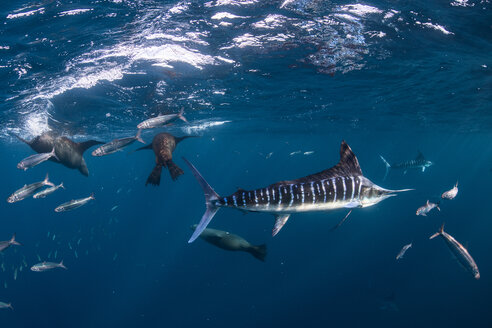 Striped marlin hunting mackerel and sardines, joined by sea lions - CUF49185
