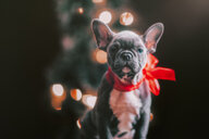 Young French Bulldog wearing red bow for Christmas - ISF20599