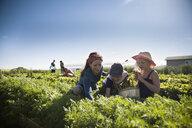 Family farmers harvesting arugula lettuce in vegetable garden on sunny farm - HEROF20700