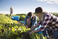 Farmers working in lettuce vegetable crop on sunny farm - HEROF20715