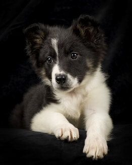 Portrait of Border Collie puppy in front of black background - MJOF01672