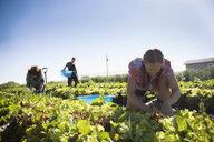 Female farmer harvesting lettuce in vegetable garden on sunny farm - HEROF20903