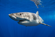 Great white shark, Guadalupe, Mexico - ISF20796