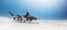 Great hammerhead shark in shoal of fish, Alice Town, Bimini, Bahamas - ISF20799