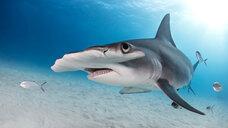 Great hammerhead shark, Alice Town, Bimini, Bahamas - ISF20802