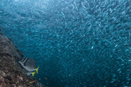Shoals of sardine being hunted by red snappers - ISF20832