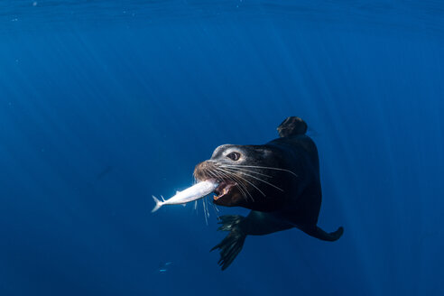 Sea lions hunting and feeding on mackerel baitballs - ISF20874