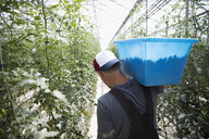 Man carrying bin of fresh, harvested tomatoes between tomato plants in greenhouse - HEROF21255