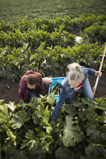 Mother and daughter farmers harvesting zucchinis on farm - HEROF21276