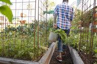 Man harvesting vegetables in garden - HEROF23154