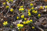 Winter aconites - JTF01184