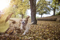 Golden Retriever playing with autumn leaves - MAMF00427