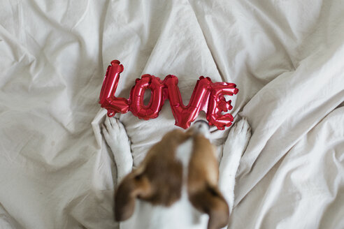 Dog on bed with love foil balloon, from above - JPF00355