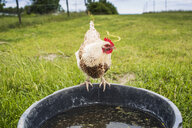 Chicken perching on container at grassy field - ASTF02959