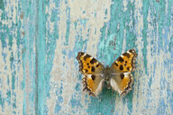 Butterfly on flaking turquoise wood - CRF02832