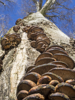 Germany, Bavarian Forest, Tree trunk with bracket fungus, low angle view - HUSF00021