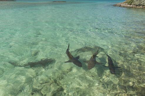 Caribbean, Bahamas, Exuma, Lemon sharks swimming in the turquoise waters - RUNF01324