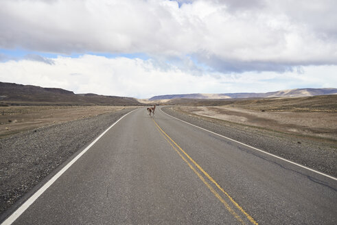 Argentina, Patagonia, National Route 40, Guanaco crossing empty road in the middle of desert - IGGF00786
