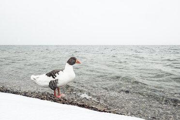 Grey goose, Anser anser, at Lake Starnberg in winter - WFF00002