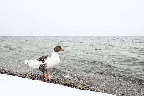 Grey goose, Anser anser, at Lake Starnberg in winter - WFF00002